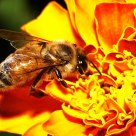 Honey Bee ablaze in color.........